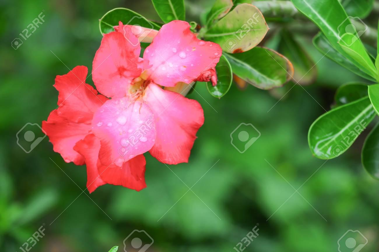 Rose Du Desert Ou Adenium Fleur Rouge Et L Eau Goutte A Goutte Sur