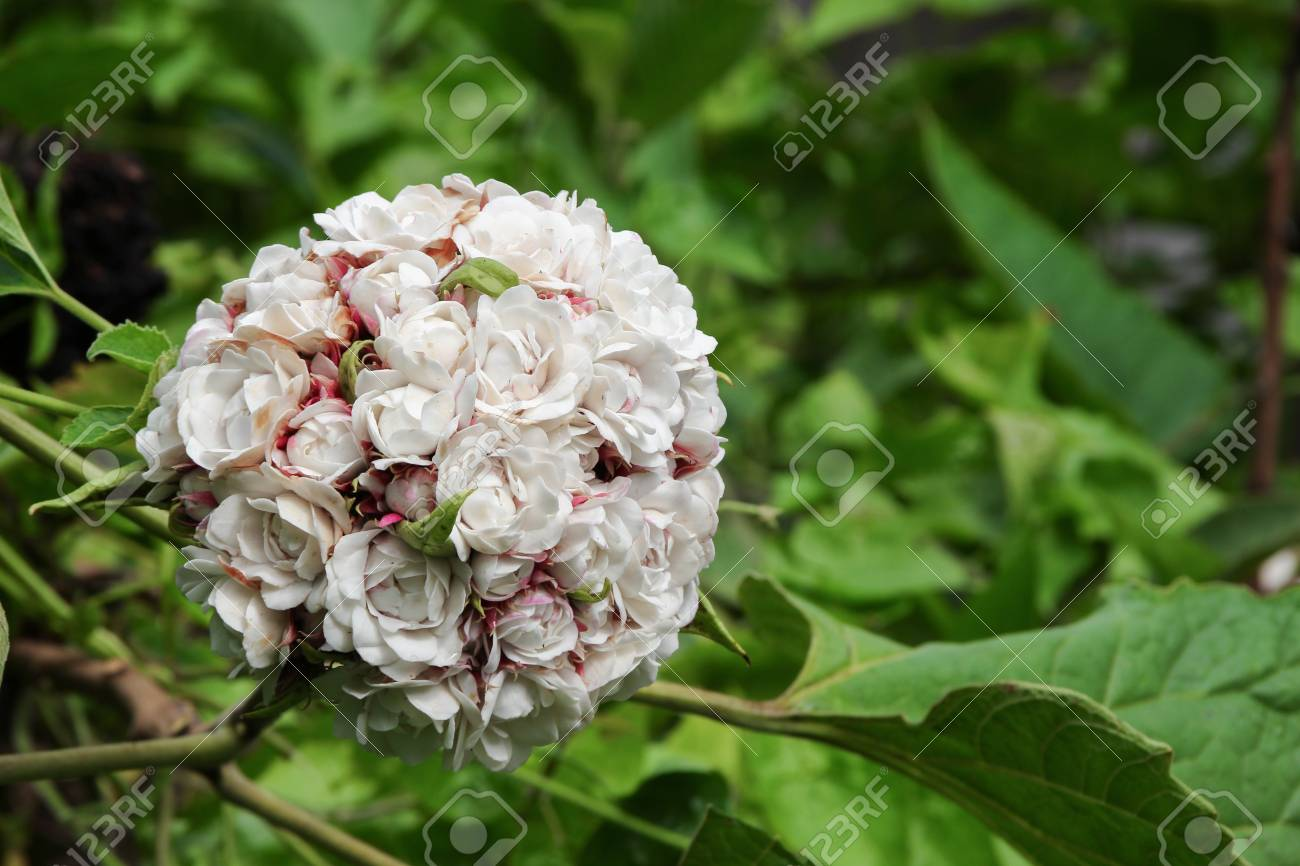 White Flower Ball Beautiful Of Fragrant In Bloom On Tree With