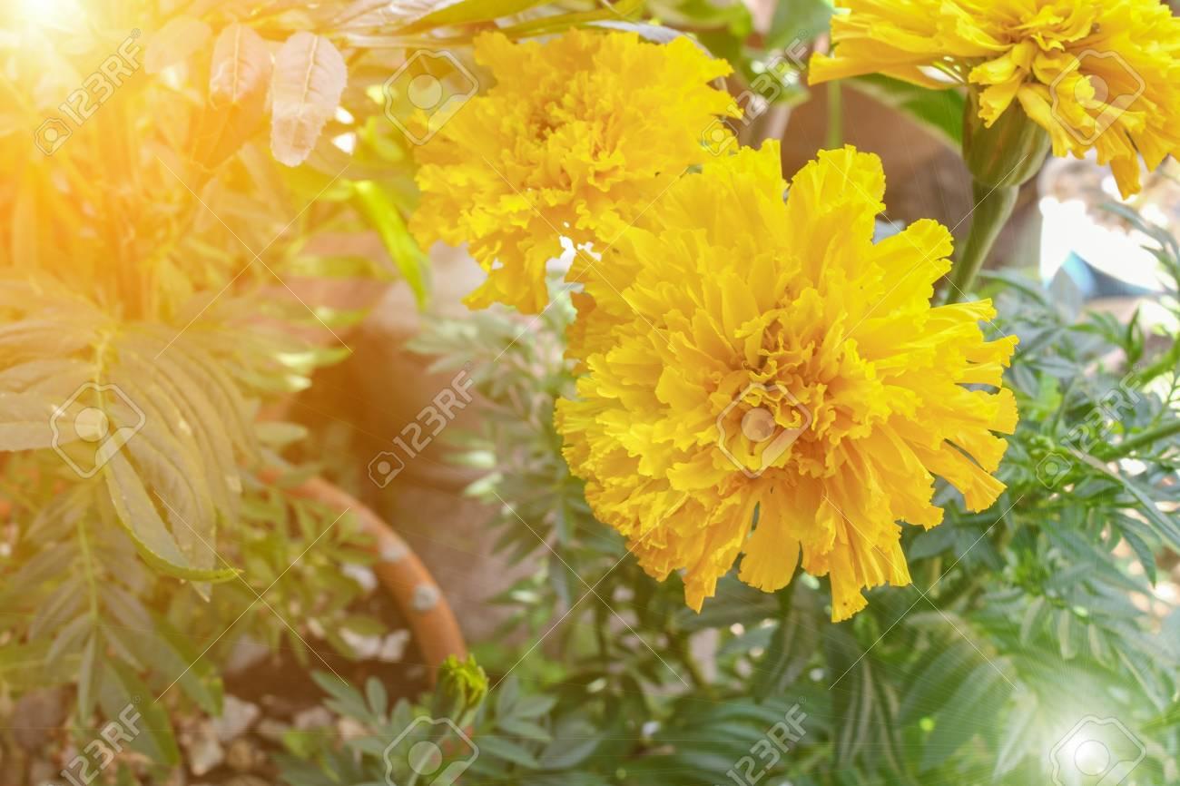 Fleur De Souci Jaune Dans Le Jardin Se Bouchent Avec Le Ton De La ...