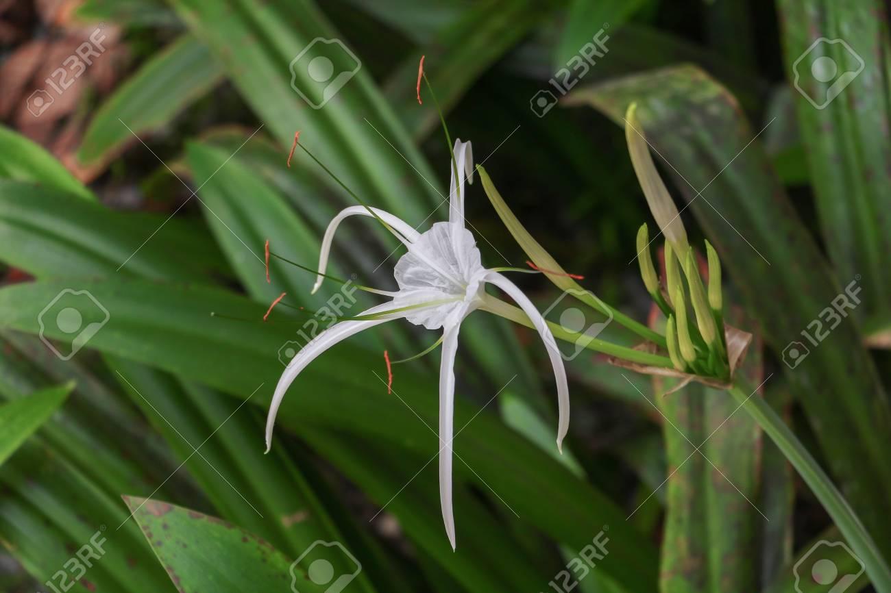 Spider lily flower white in a garden crinum asiaticum stock photo spider lily flower white in a garden crinum asiaticum stock photo 91021571 izmirmasajfo