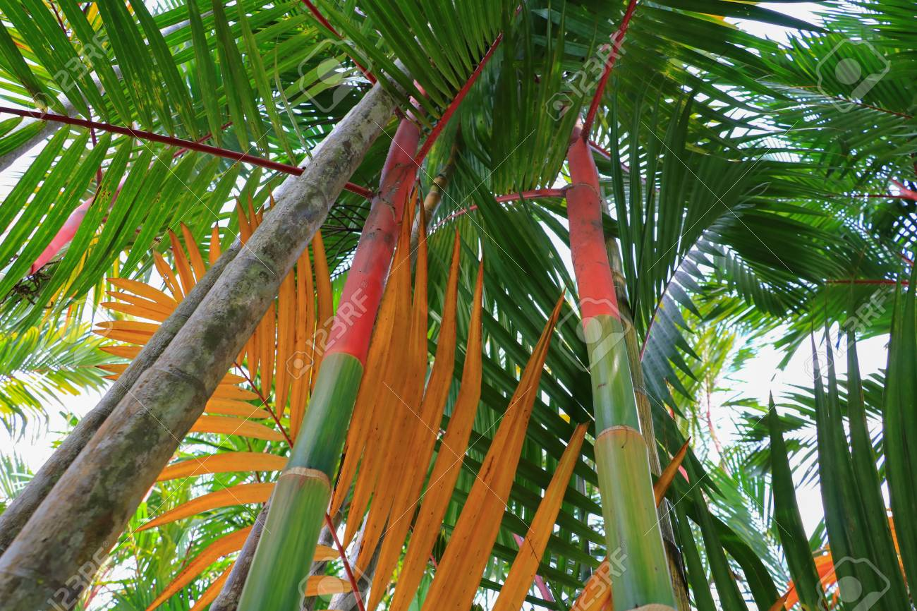 Red Bamboo Palm Tree Bottom View Stock Photo Picture And Royalty Free Image Image 99747175