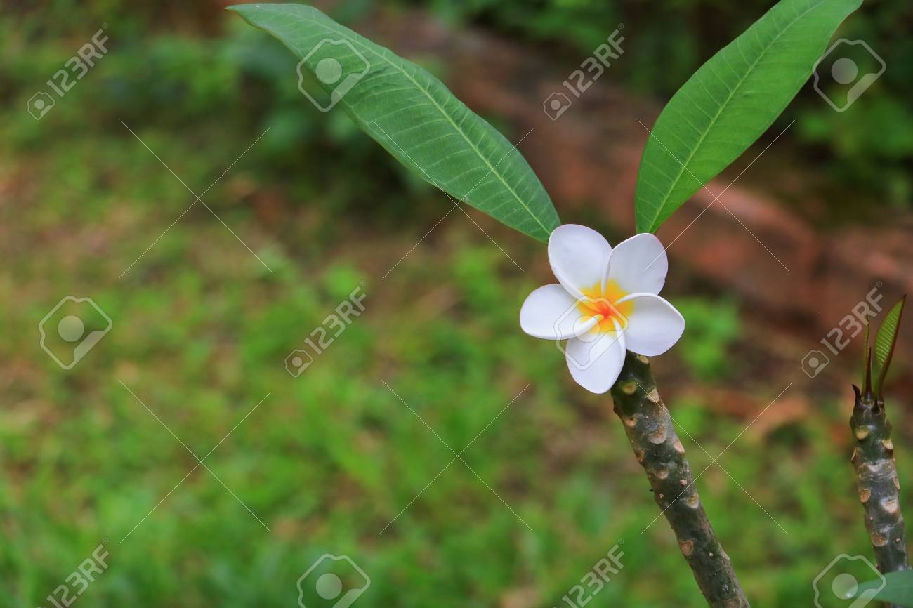 Plumeria Flower White Beautiful On Tree Common Name Pocynaceae