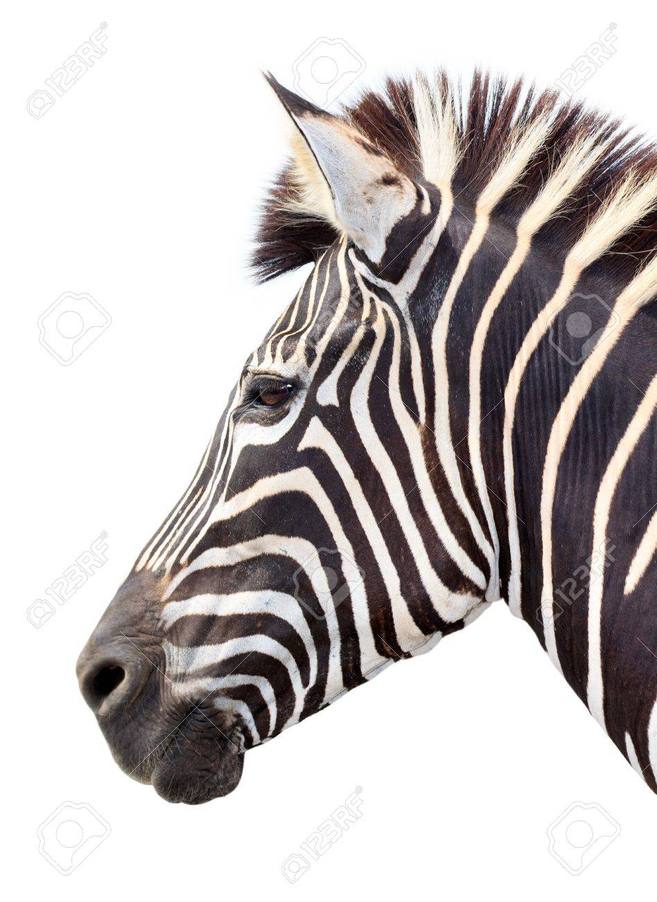 burchell zebra head on white  Zebra Head Profile
