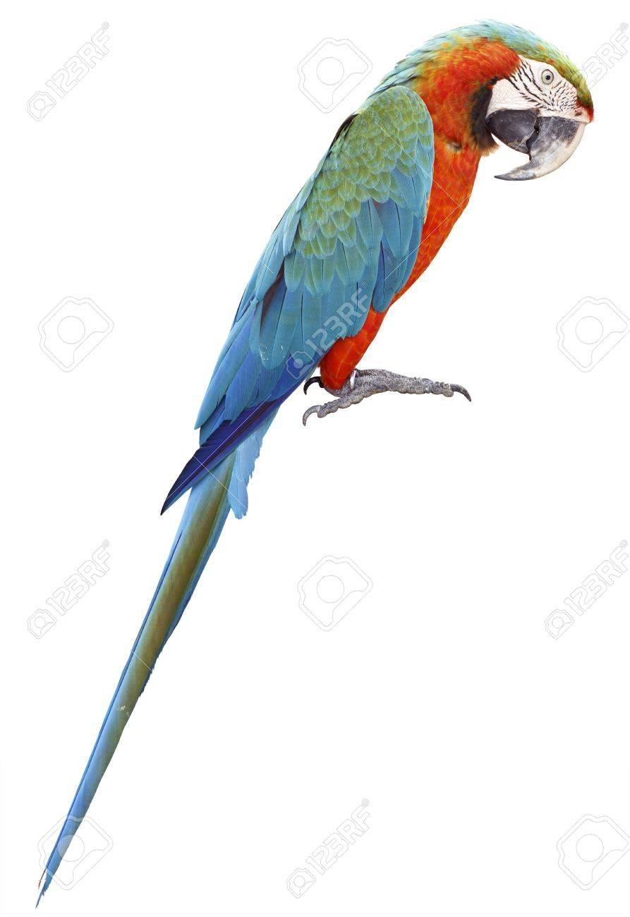 Colorful orange parrot macaw isolated on white background Stock Photo - 18620413
