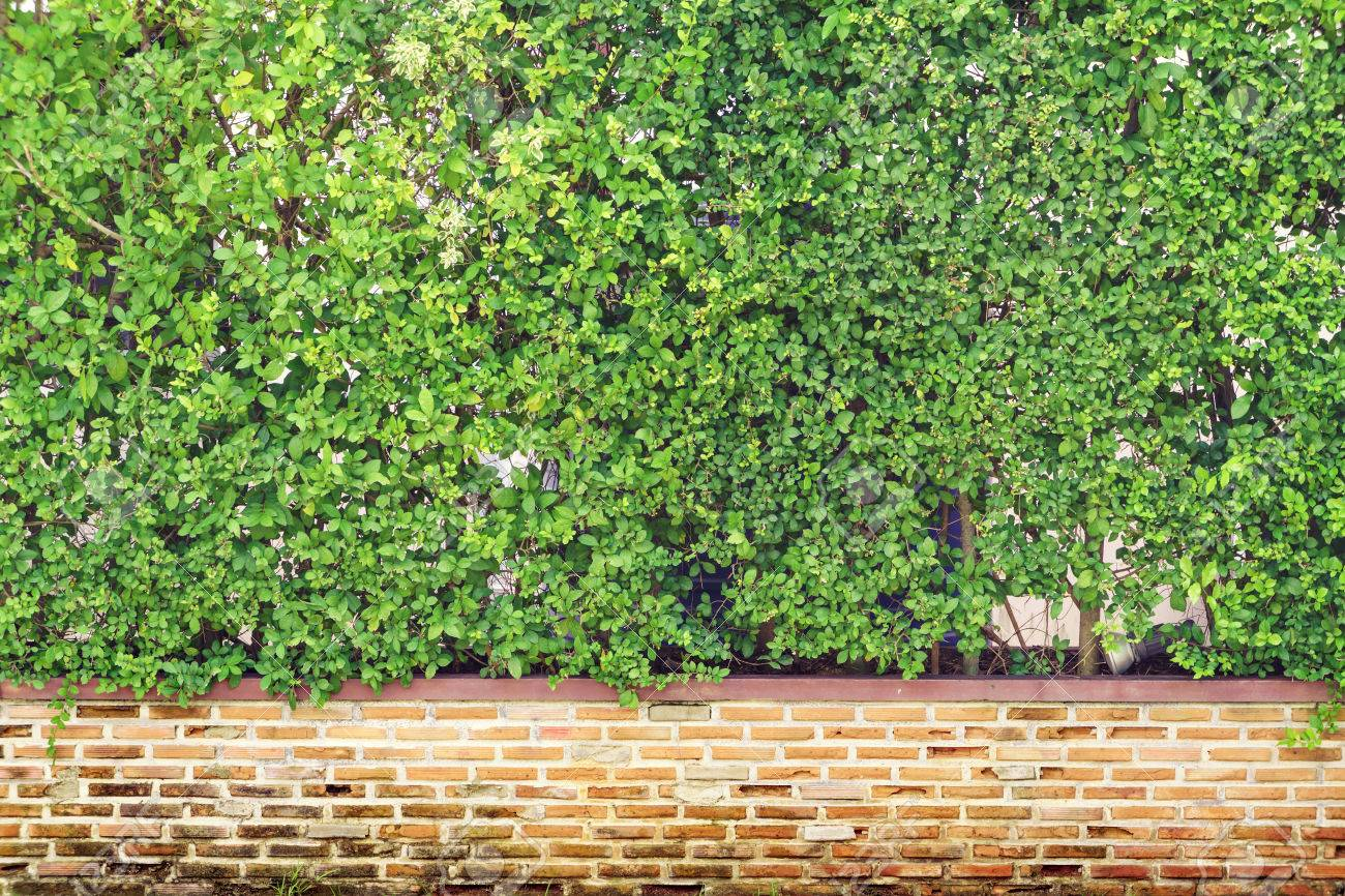 Green hedge and vintage brick fence wall background - 65691265