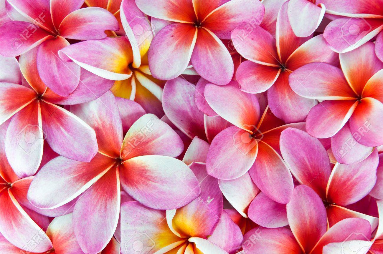 Frangipani Flowers, A Variety Of Background Colors. Stock Photo ...