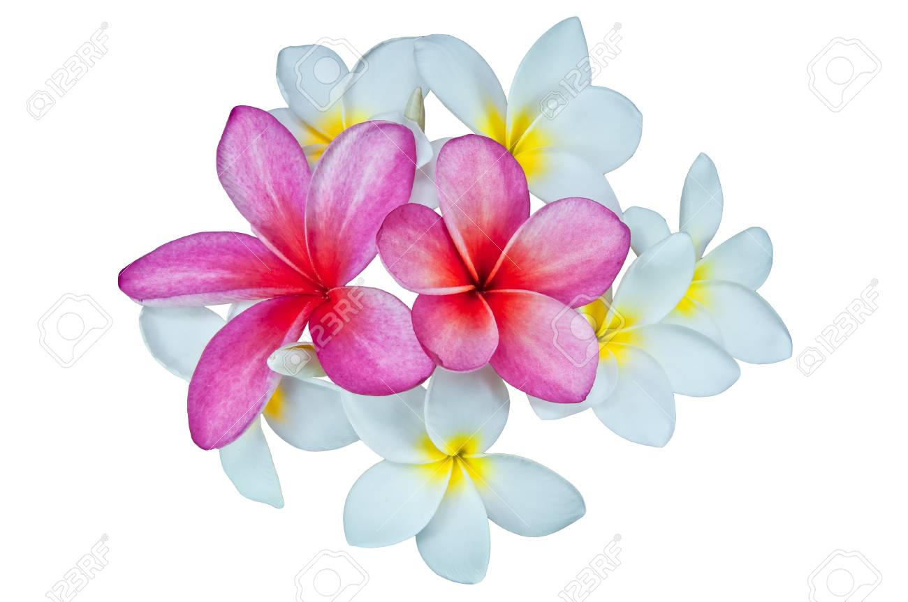 Frangipani Flowers On A White Background Stock Photo Picture And