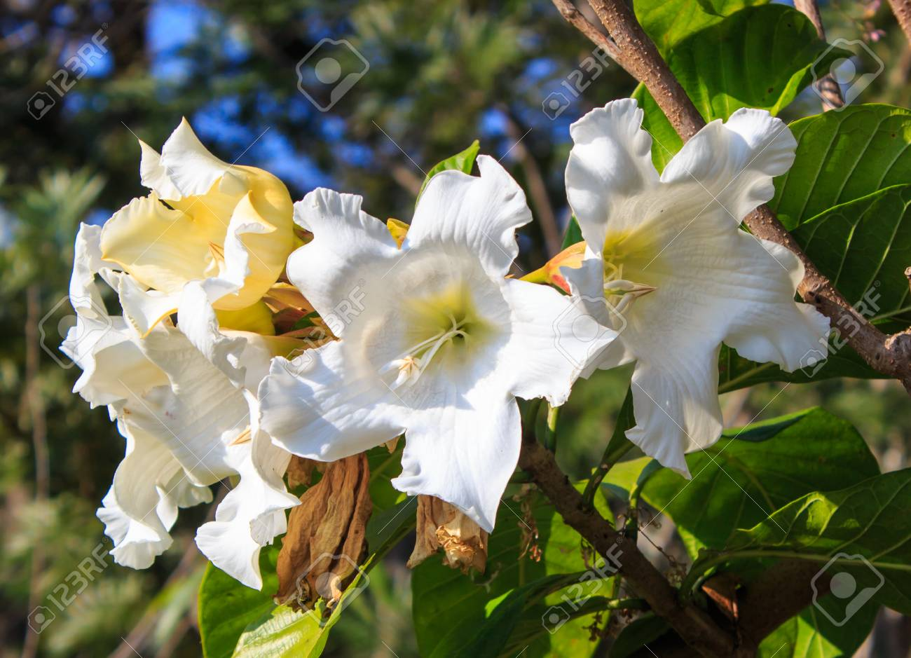 White Flower Easter Lily Vine Stock Photo Picture And Royalty Free