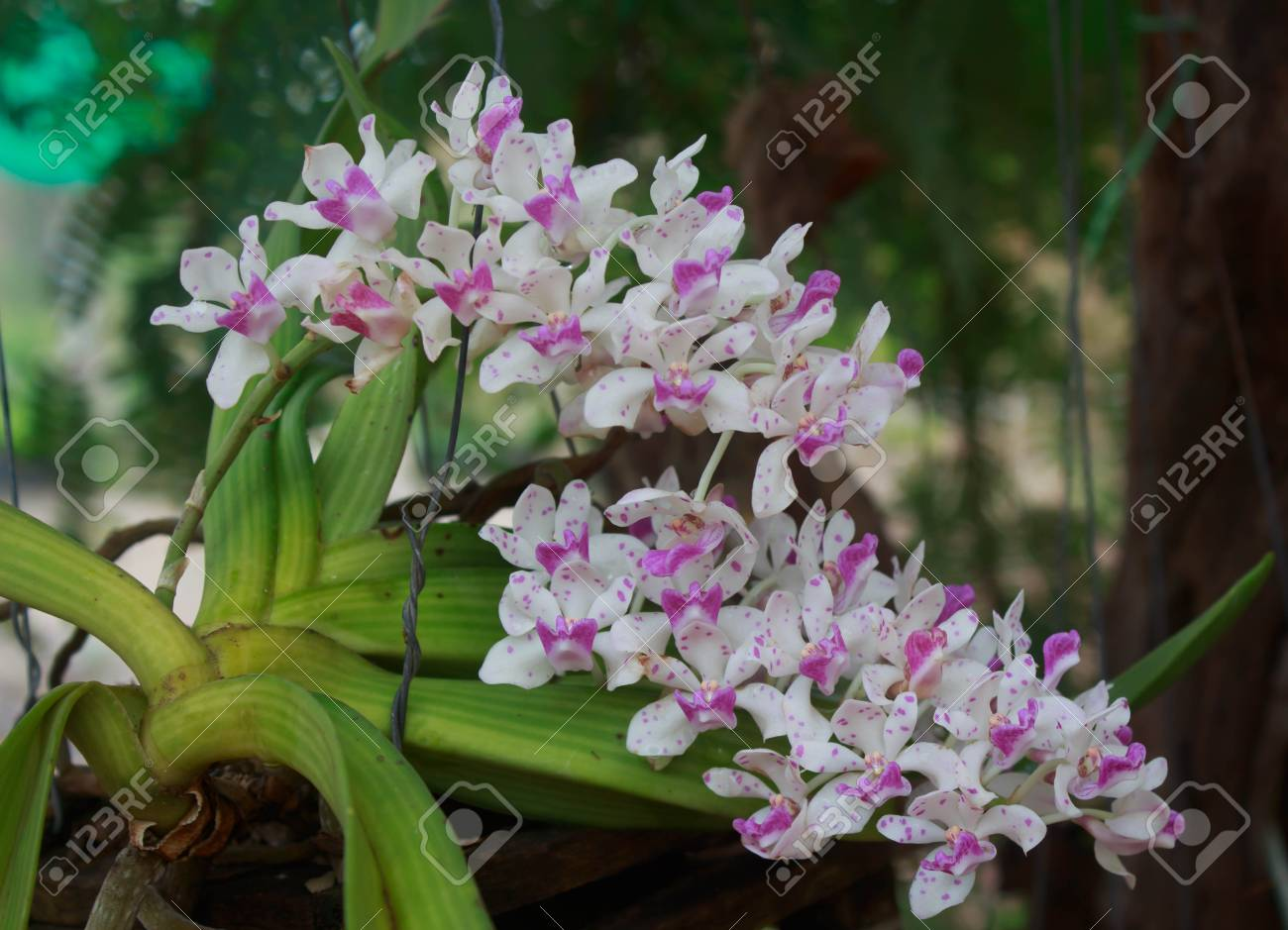 Wild Orchid Flower On Tree Stock Photo Picture And Royalty Free