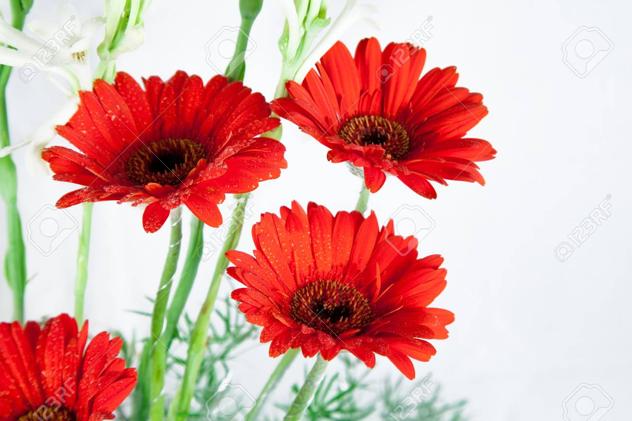 Beautiful Red Red Daisy Flowers Over White Background Stock Photo