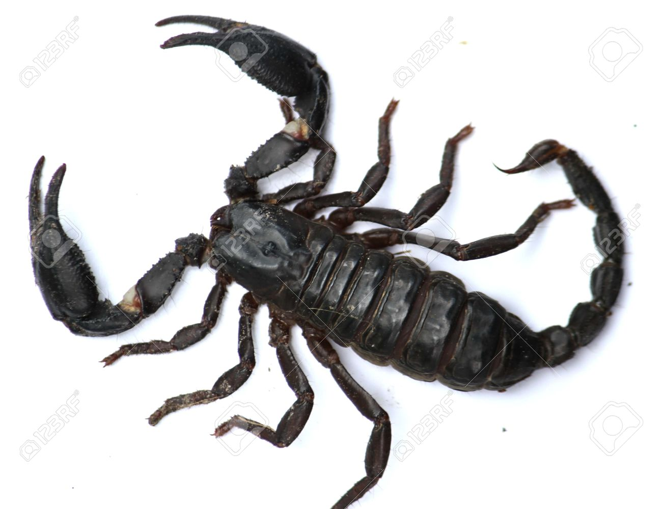 Scorpion , be one poisonous kind animal , will liberate the poison