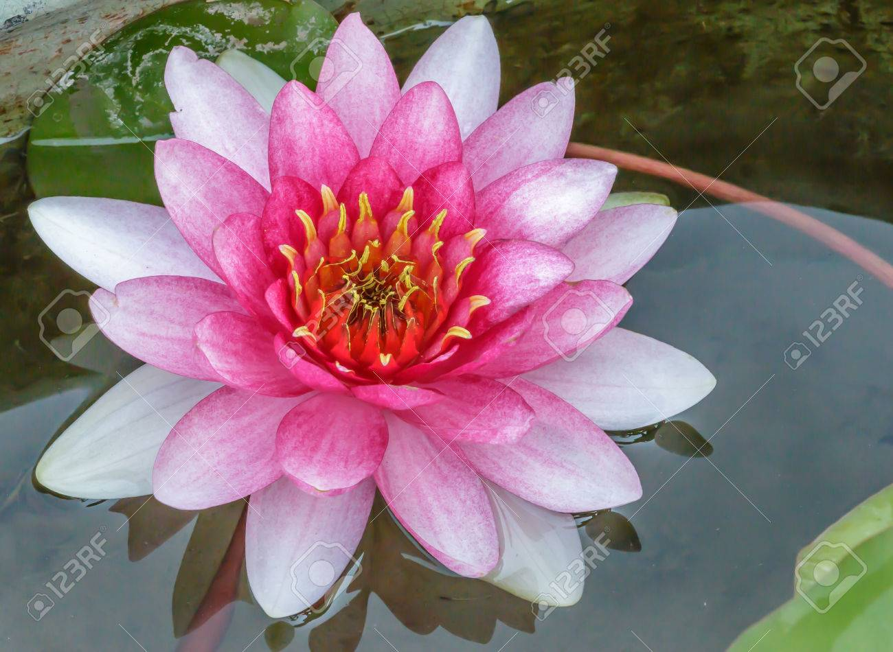 Pink White Lotus Flower Water In Full Bloom Stock Photo Picture And