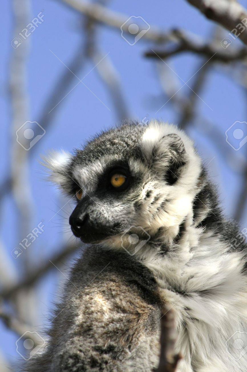 21659b1f4223 A lemur resting on a tree - Lemurs are endangered do the destruction of  their natural