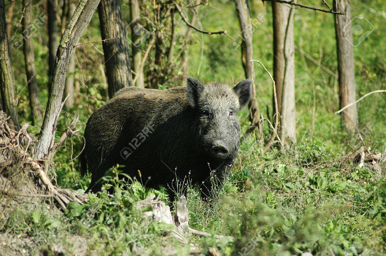 wild boar Stock Photo - 10764309
