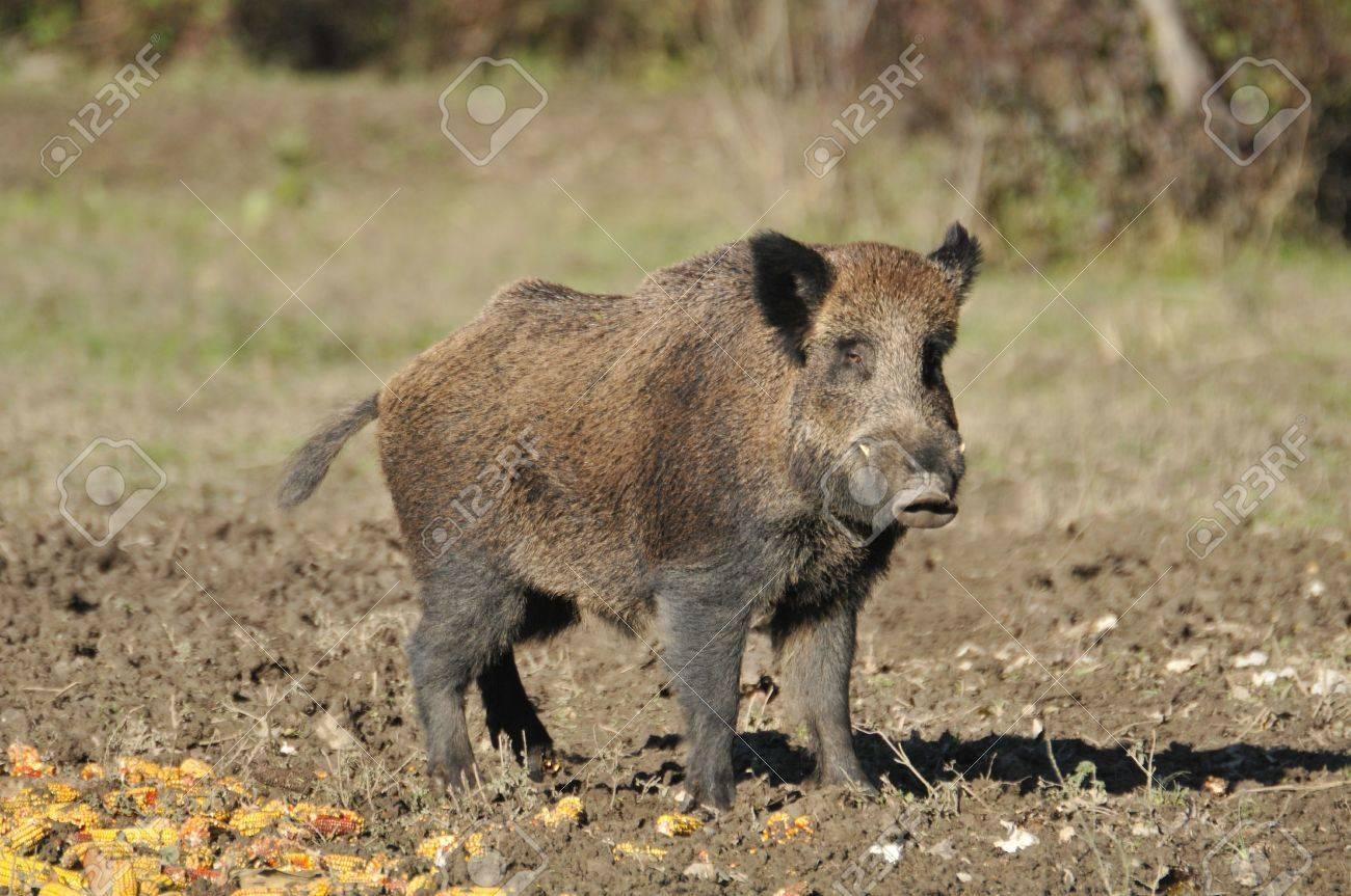 wild boar Stock Photo - 11181023