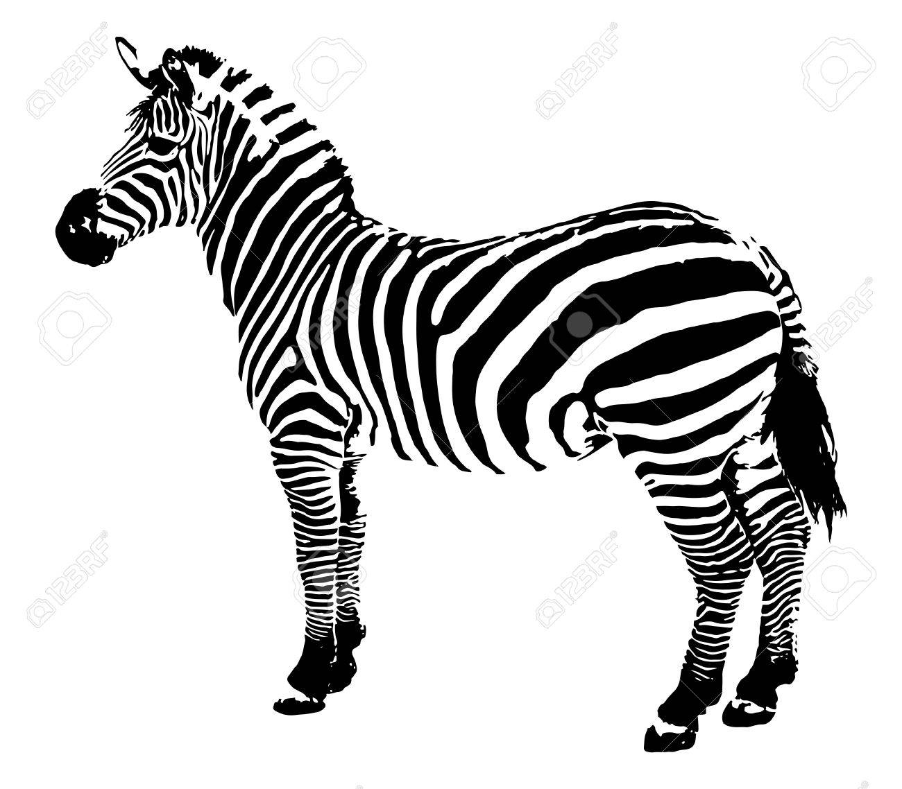 zebra illustration royalty free cliparts vectors and stock
