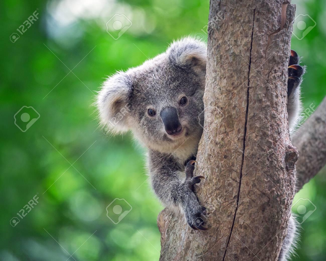 Baby koala bears on the tree. - 97686683
