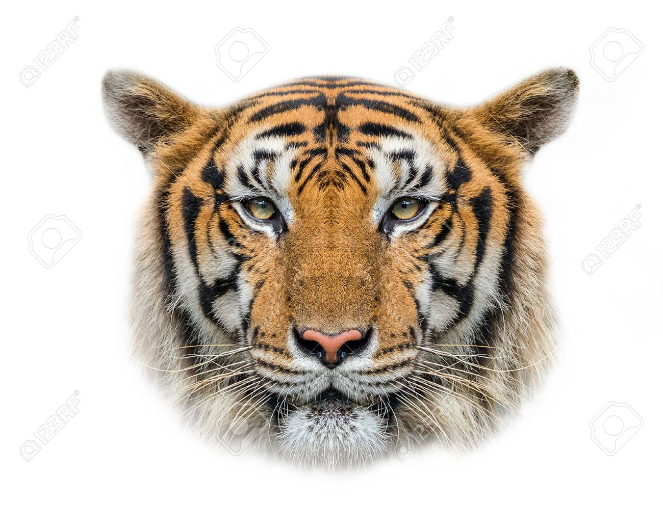 Tiger's face on a white background