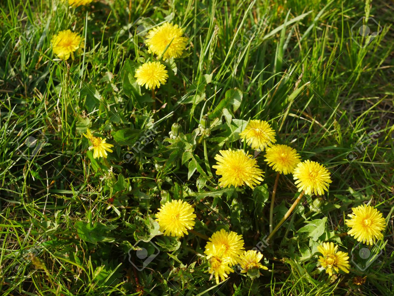 Yellow weed flowers on lawn stock photo picture and royalty free stock photo yellow weed flowers on lawn mightylinksfo