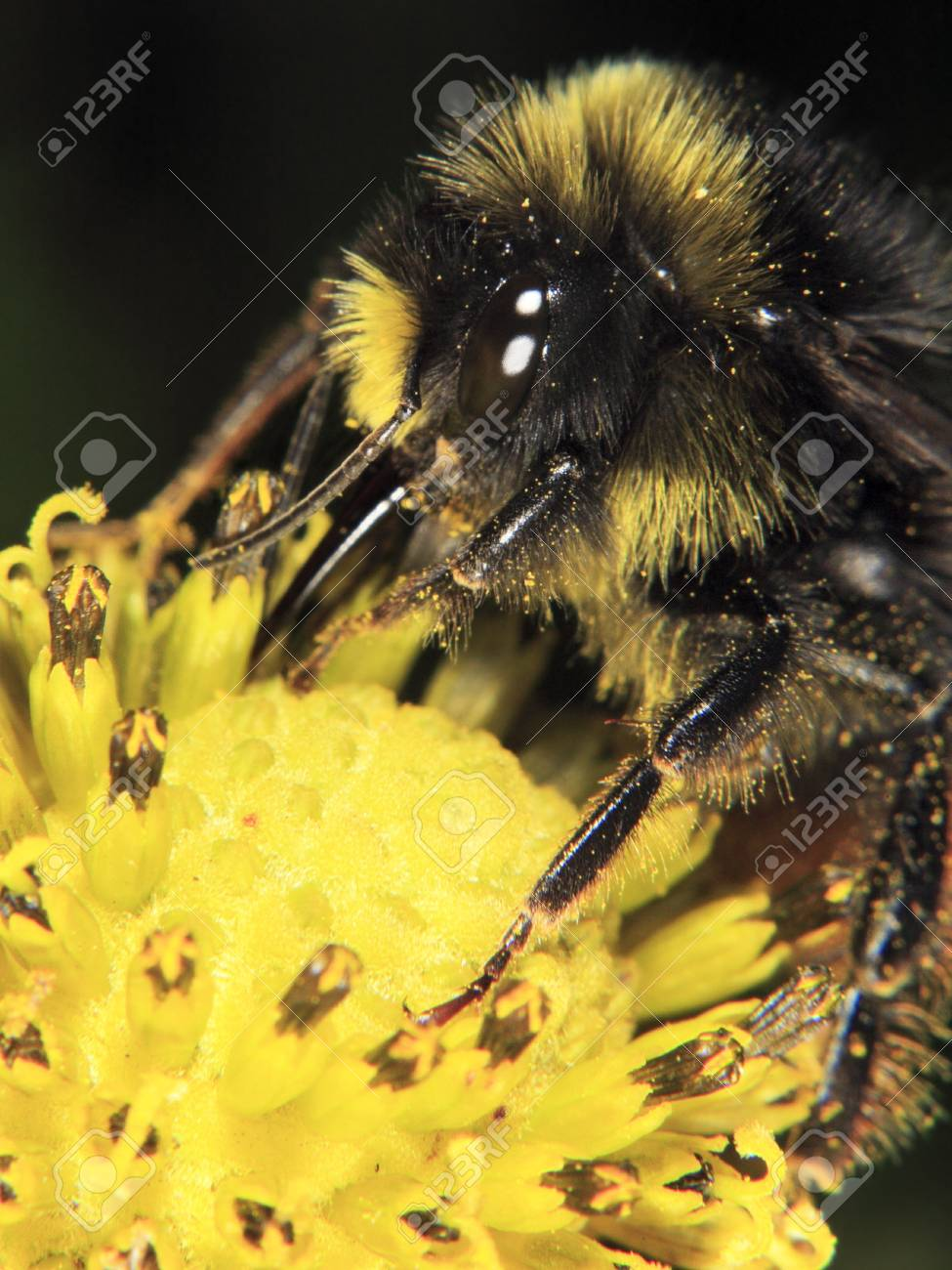 Bumblebee on yellow flower close up Stock Photo - 10227054