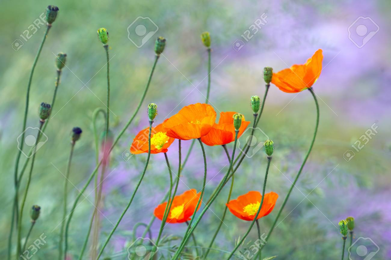 Orange Poppy Flowers In Garden Stock Photo Picture And Royalty Free
