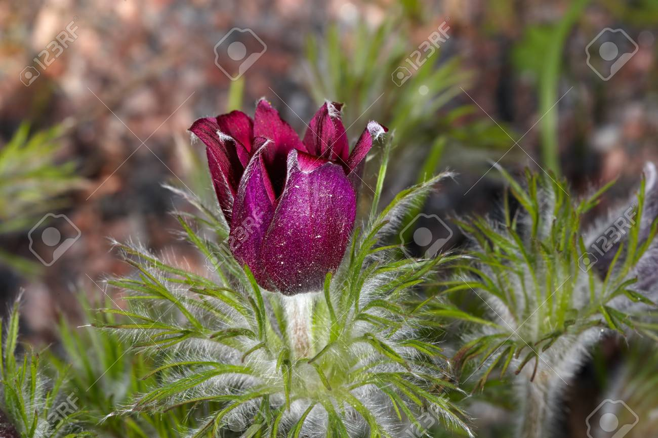 Pasque-flower bud in garden Stock Photo - 13598747