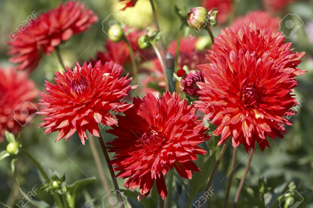 Red Dahlia Flowers In Garden Stock Photo Picture And Royalty Free