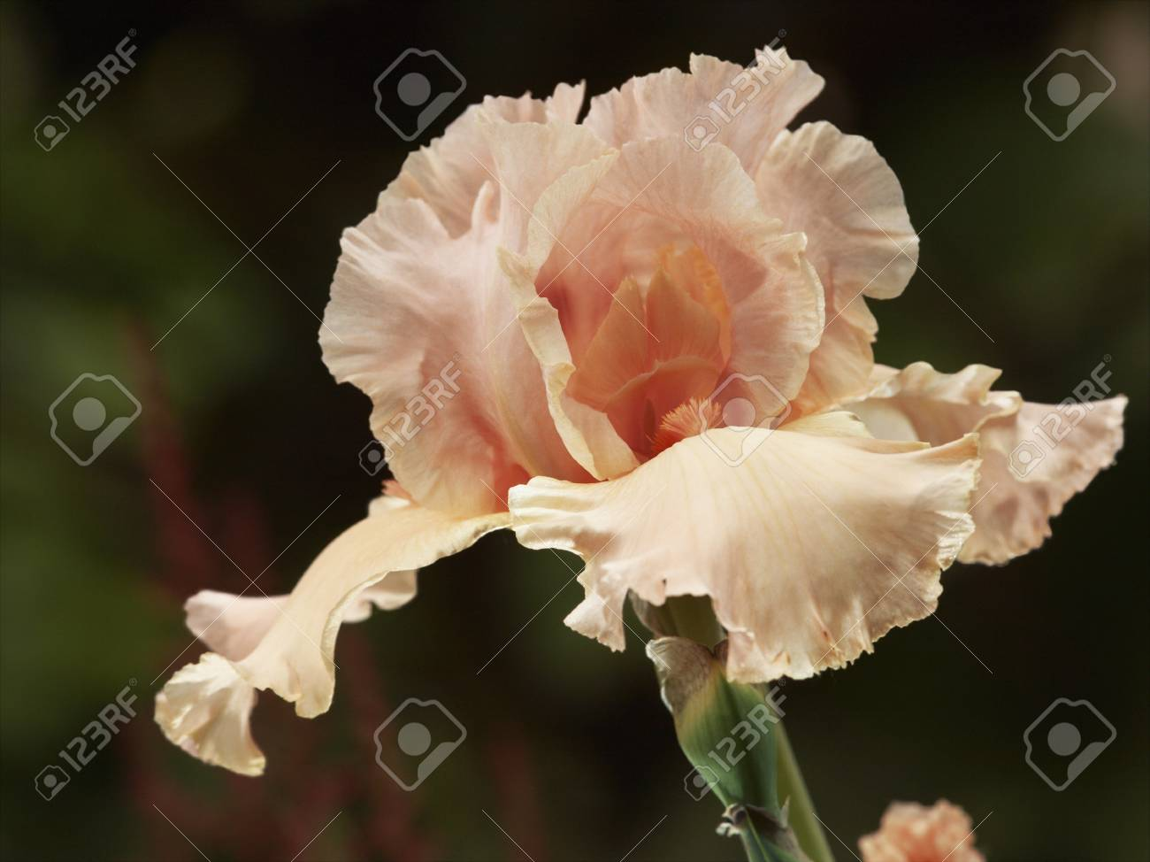 Bearded Iris Flower Bud Close Up Stock Photo Picture And Royalty