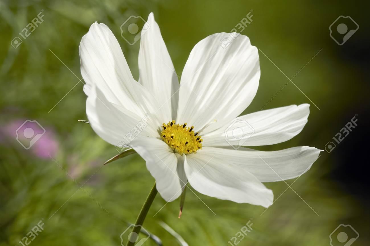 White cosmos flower blossom in grass stock photo picture and stock photo white cosmos flower blossom in grass mightylinksfo