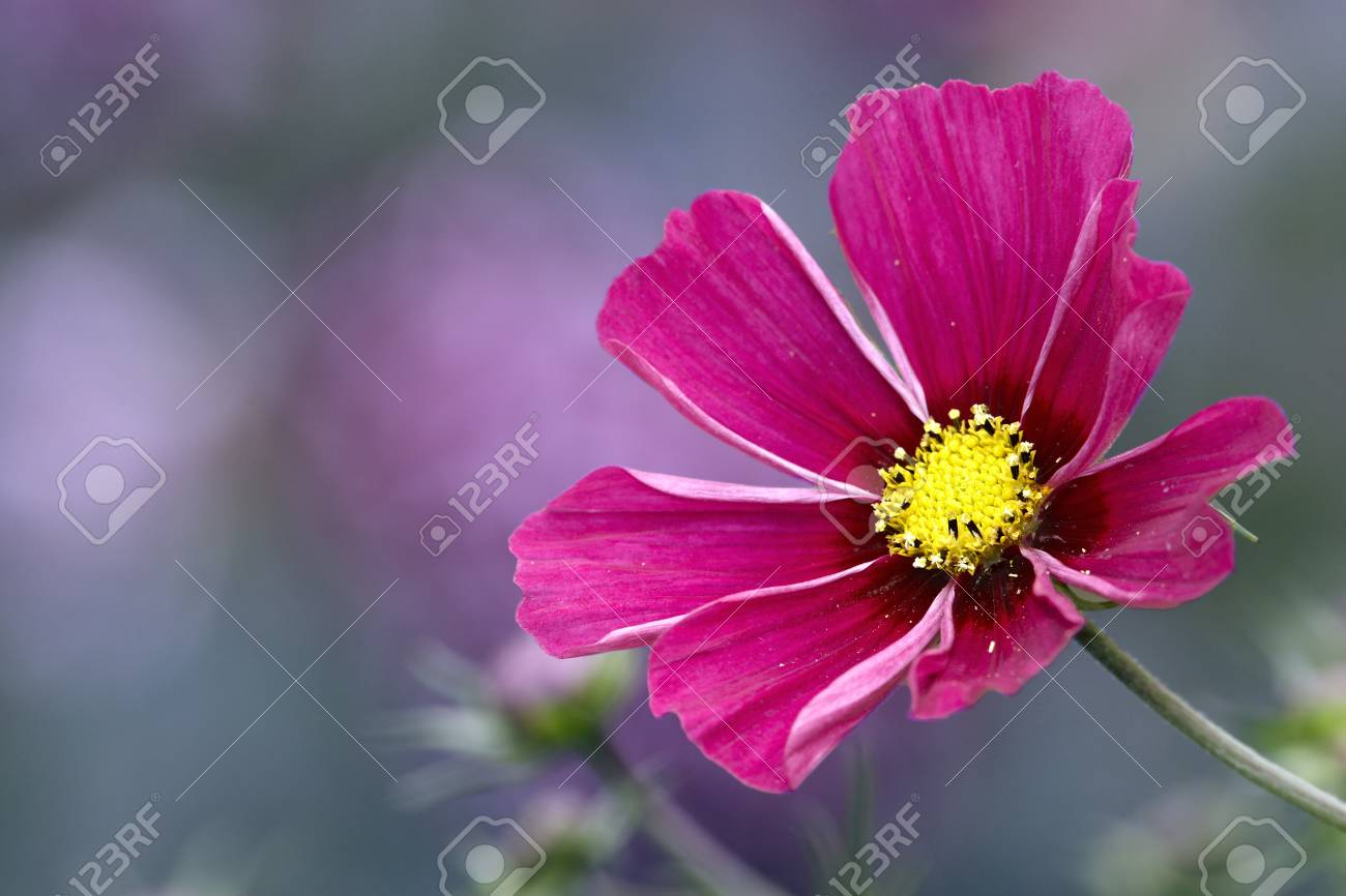 Red Cosmos Flower Bud In Garden Stock Photo Picture And Royalty