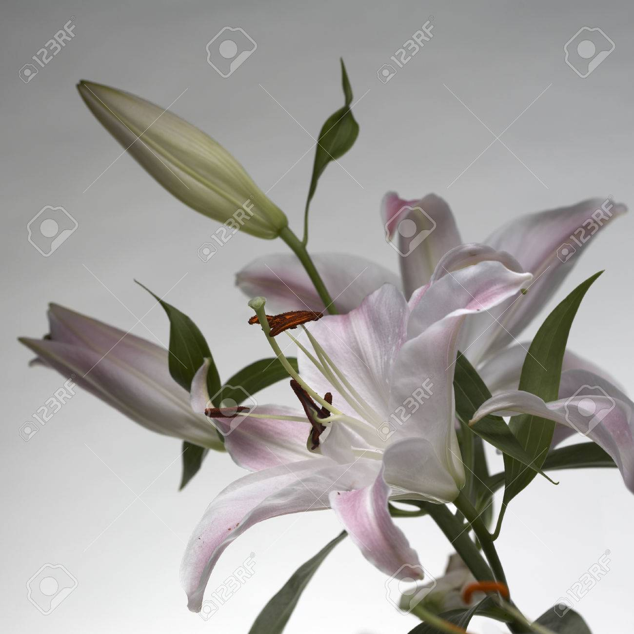 Pale Pink Lily Flowers Blossom Stock Photo Picture And Royalty