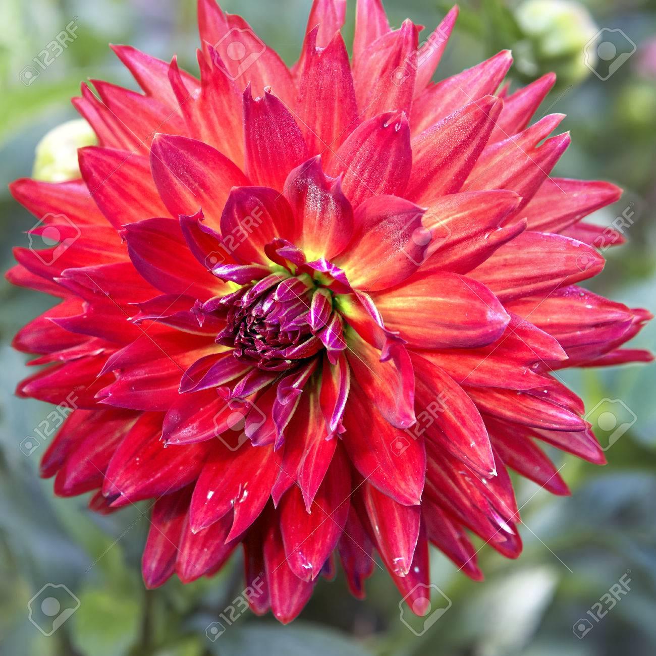 dahlia rouge fleur gros plan banque d'images et photos libres de