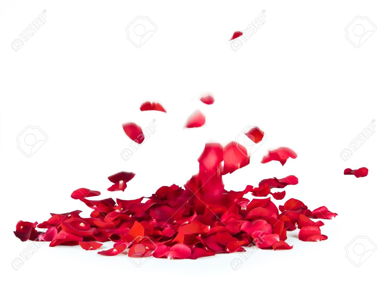 falling rose petals on white background stock photo picture and