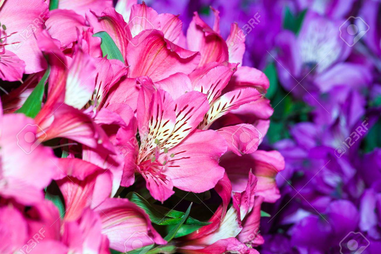 Alstroemeria Flowers Background Peruvian Lily Of Different Colors Stock Photo Picture And Royalty Free Image Image 65934341