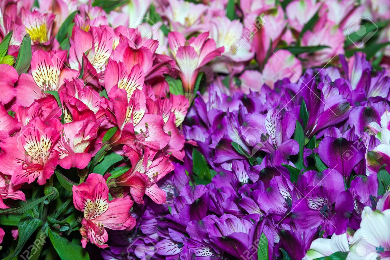 Alstroemeria Flowers Background Peruvian Lily Of Different Colors Stock Photo Picture And Royalty Free Image Image 66073292
