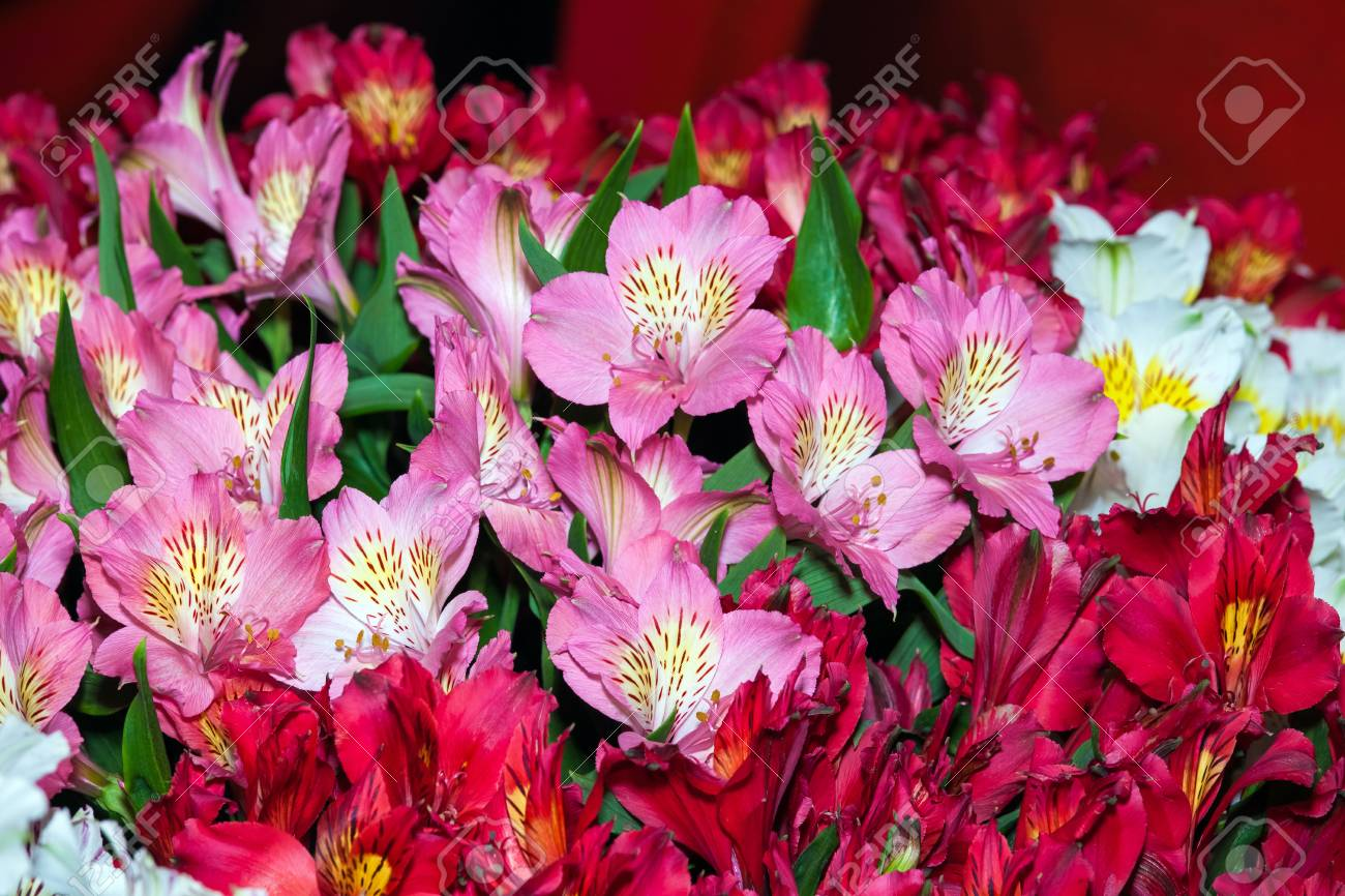 Alstroemeria Flowers Background Peruvian Lily Of Different Colors Stock Photo Picture And Royalty Free Image Image 66073293