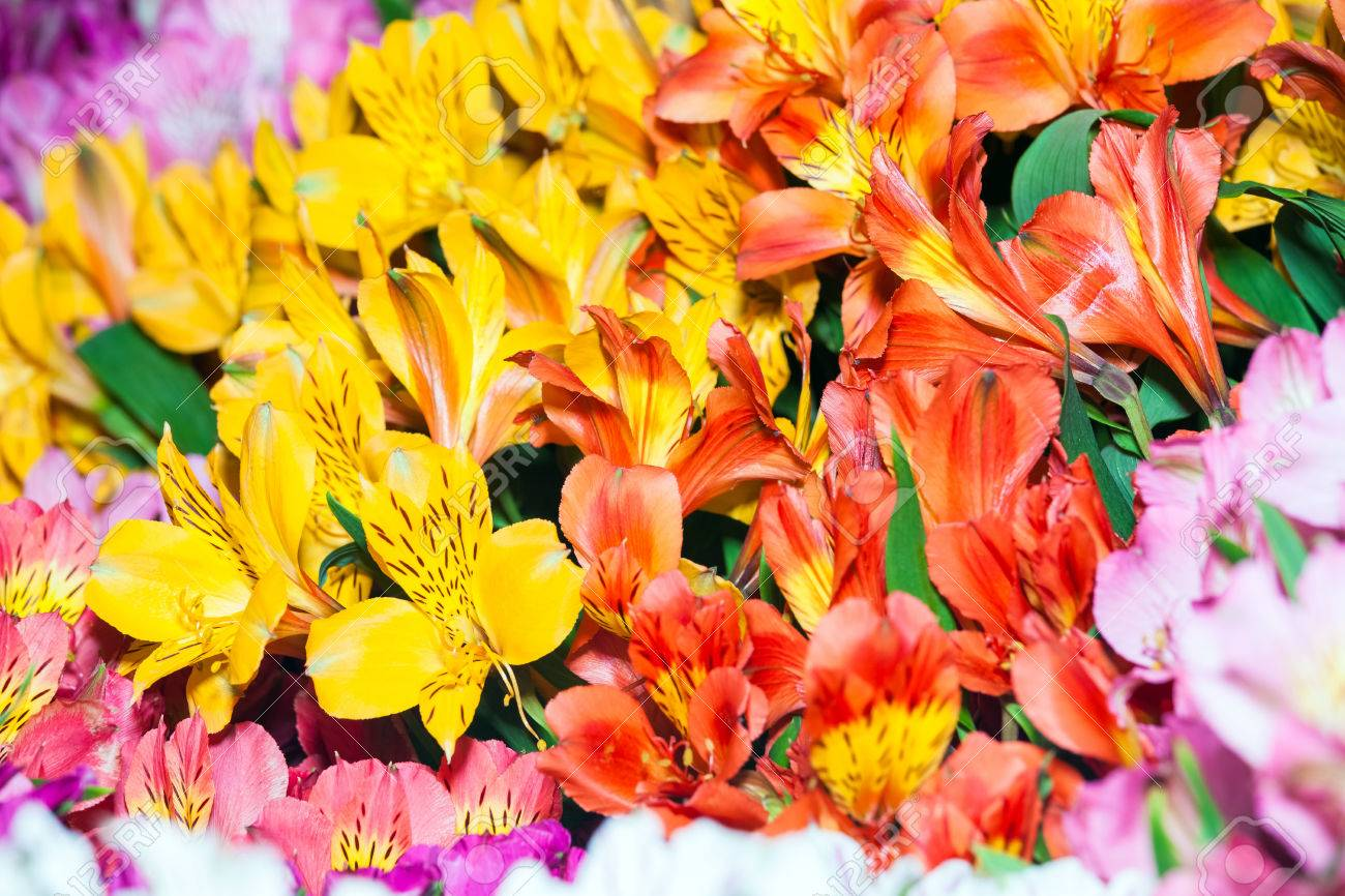 Alstroemeria flowers background peruvian lily of different colors alstroemeria flowers background peruvian lily of different colors stock photo 66073303 izmirmasajfo Image collections