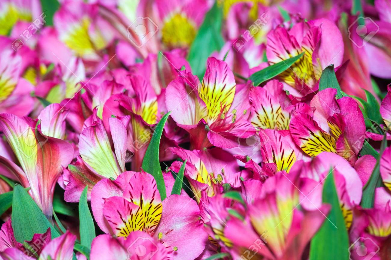 Alstroemeria flowers background peruvian lily of different colors alstroemeria flowers background peruvian lily of different colors stock photo 66315485 izmirmasajfo Image collections