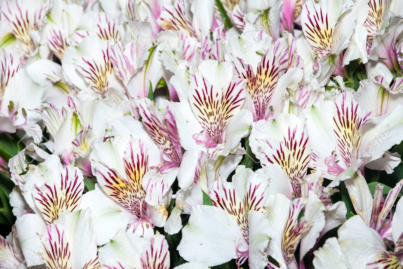 Alstroemeria Flowers Background Peruvian Lily Of White Color Stock Photo Picture And Royalty Free Image Image 66315384