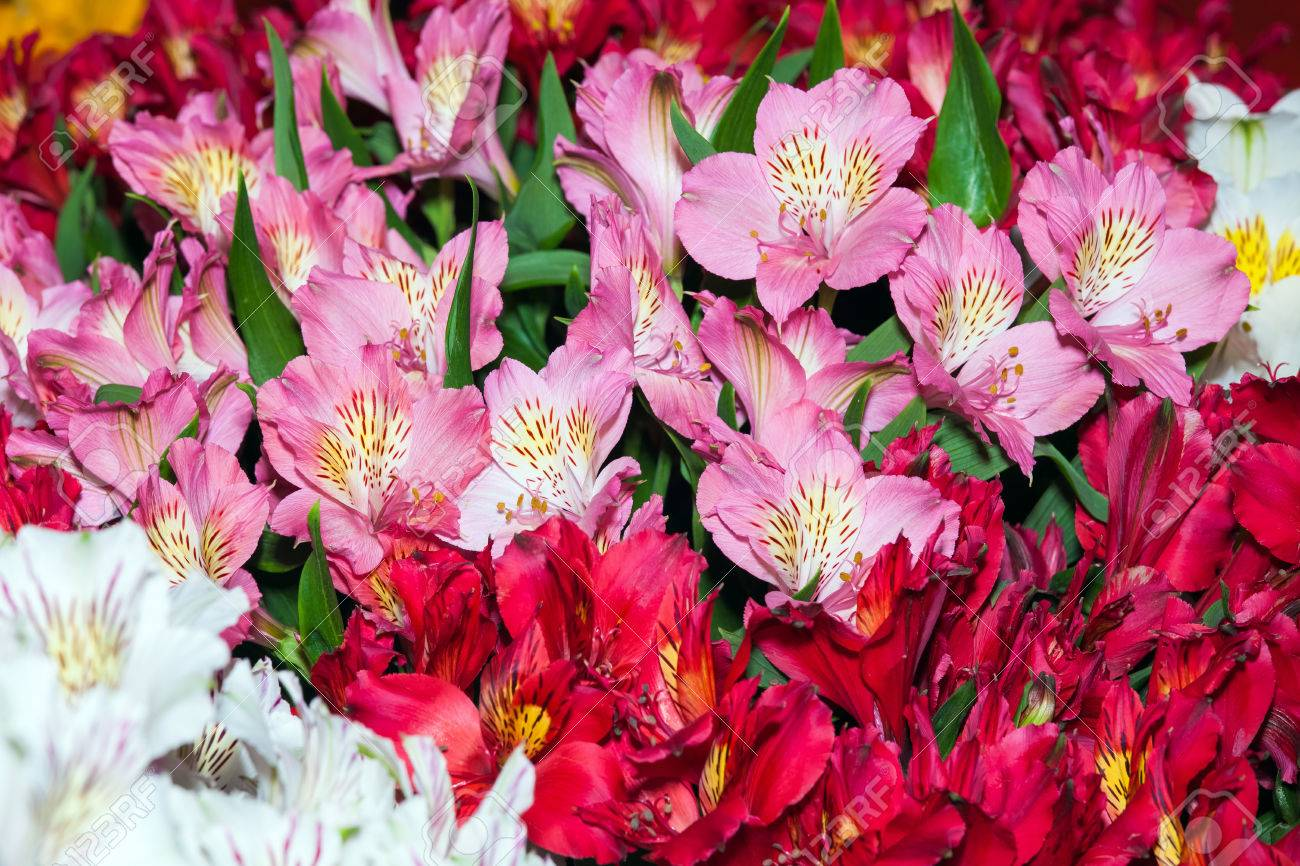Alstroemeria Flowers Background Peruvian Lily Of Different Colors Stock Photo Picture And Royalty Free Image Image 66315385