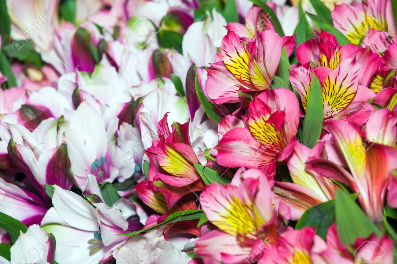 Alstroemeria flowers background peruvian lily of different colors alstroemeria flowers background peruvian lily of different colors stock photo 67482546 izmirmasajfo