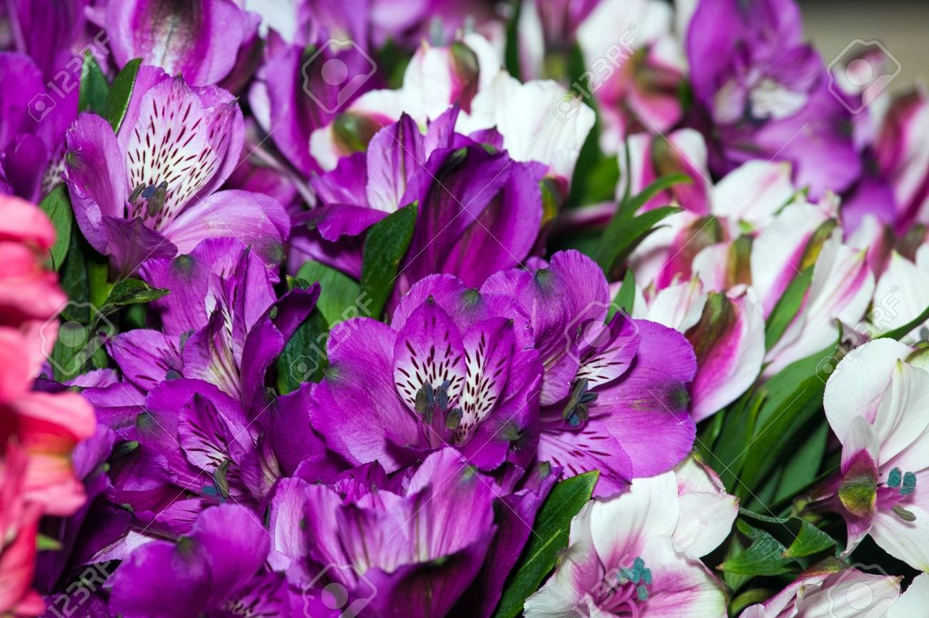 Alstroemeria Flowers Background Peruvian Lily Of Different Colors Stock Photo Picture And Royalty Free Image Image 67482543