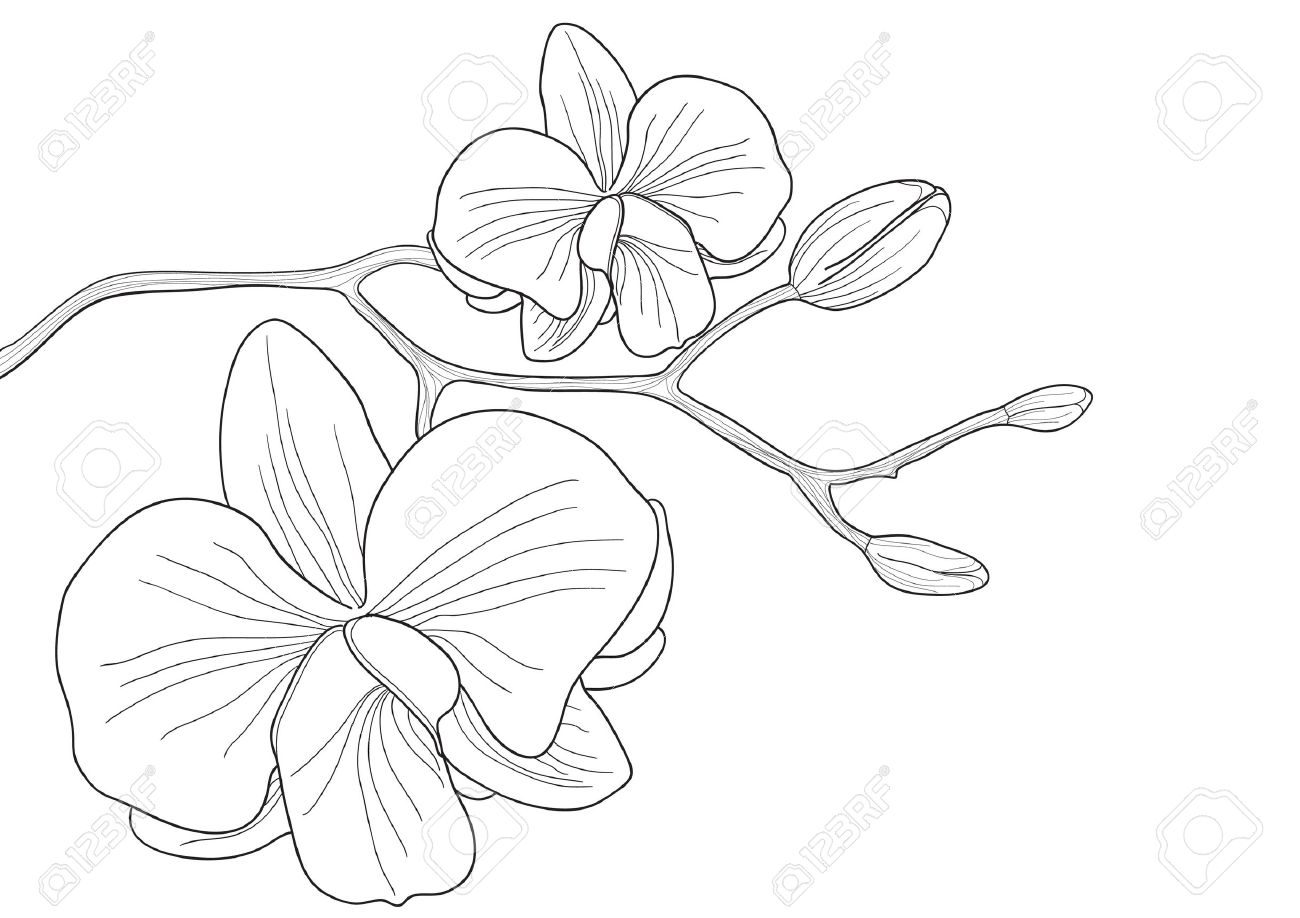 Vector illustration of orchid flower on white background Stock Vector - 9426951
