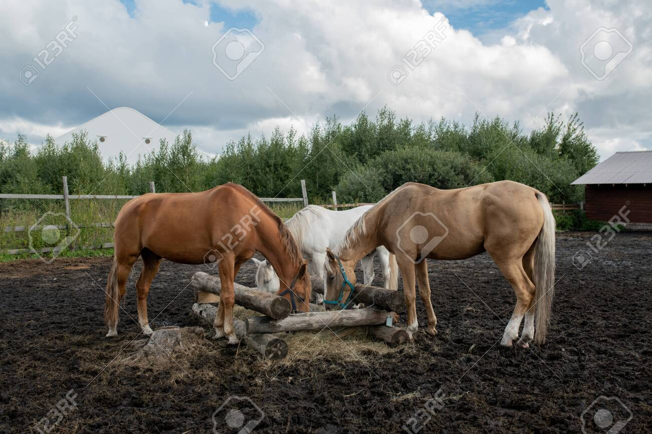 Three young purebred mares standing by wooden trough and eating at rancho - 132033604