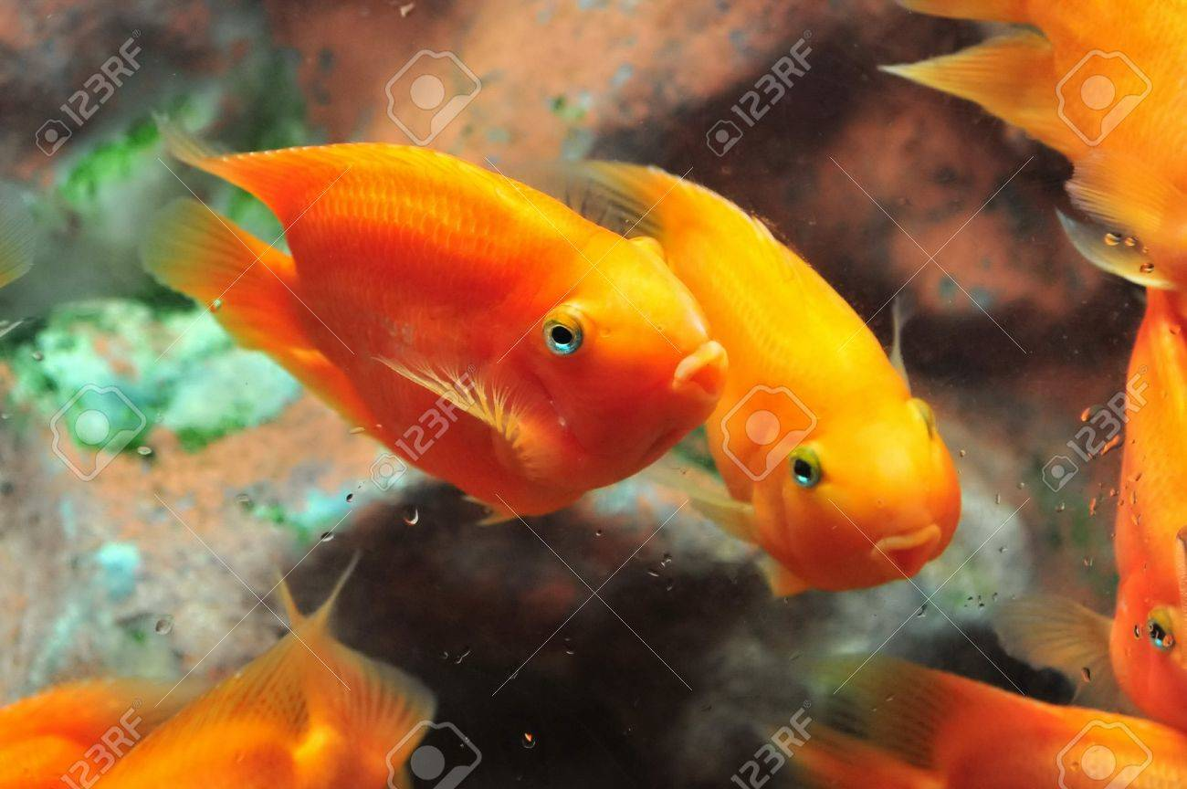Bright Orange Blood Parrot Cichlid Stock Photo, Picture And Royalty ...