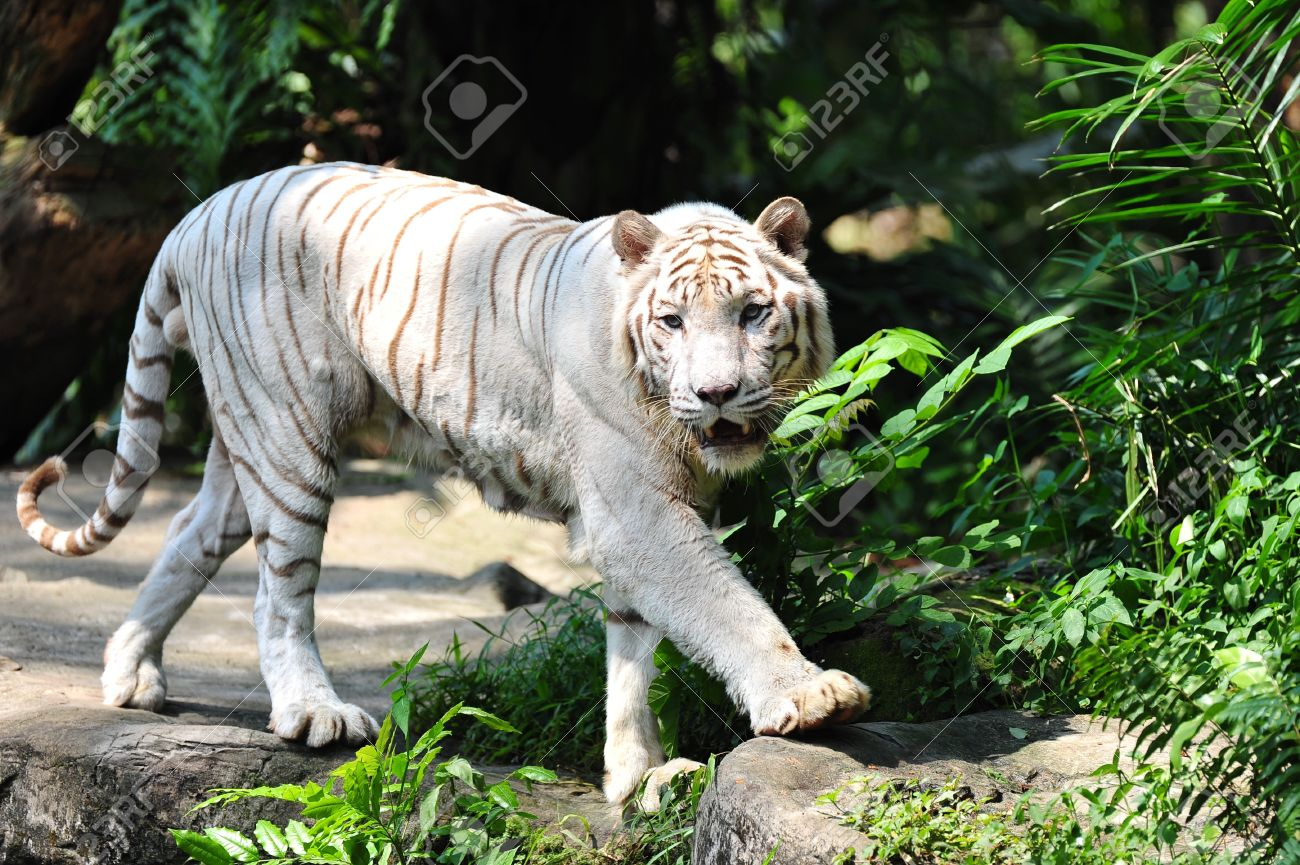the endangered animal species white tigers All species of tiger are endangered two tiger species have already gone extinct here are the facts on how approximately how many tigers are left from each specieswhy are tigers endangered.
