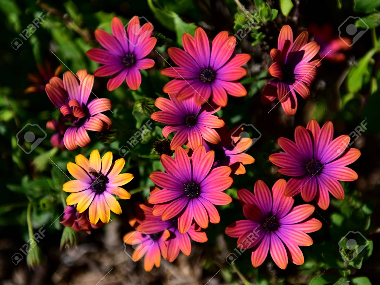 Vibrant pink flowers blooming in a garden in victoria australia stock photo vibrant pink flowers blooming in a garden in victoria australia izmirmasajfo