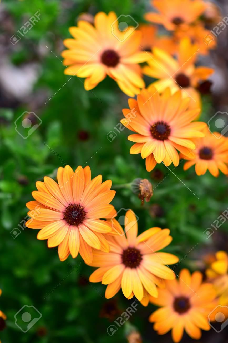 Orange Terracotta Flowers Blooming In Auckland Botanic Gardens