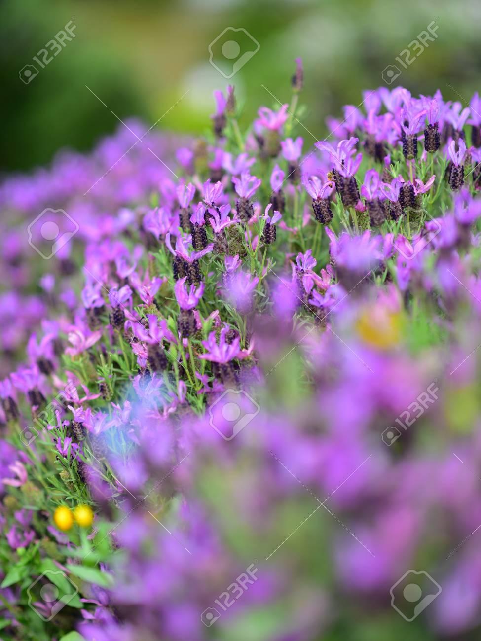 Purple Lavender Blooming In Spring In Auckland Botanic Gardens