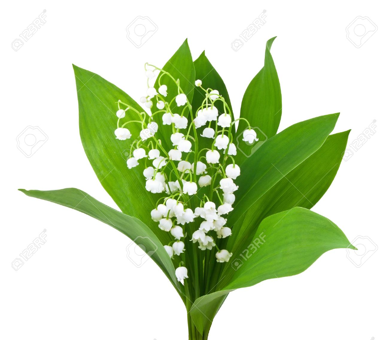 Lily of the valley stock photos royalty free lily of the valley images beautiful lilies of the valley isolated on white izmirmasajfo